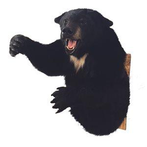 Black Bear 3/4 Shoulder Mount